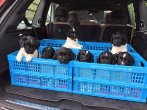 Traveling with puppies; by Patty Wenusch-Berkenbosch