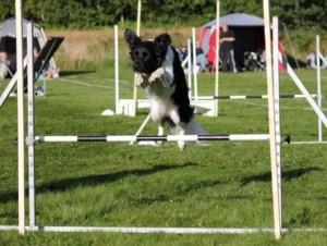 Stabyhoun Tina doing agility