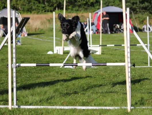 Stabyhoun Tina doing agility