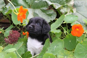 Tynke: from the first UK born litter in summer 2013