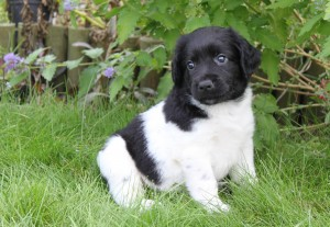 Pylgrim - born in England in August 2013