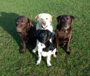 Stabyhoun, Ninke with Labradors Arnie, Rocky and Gracie