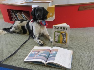 Chance, the reading therapy Stabyhoun
